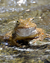 A foothill yellow-legged frog