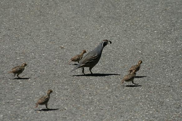 California Quail Chicks