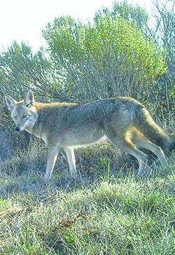 WPIP coyote