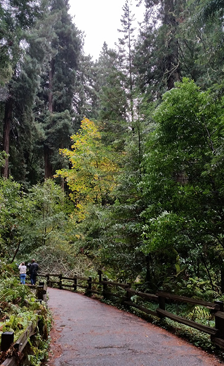 Muir woods trail autumn