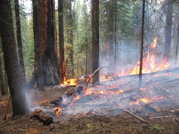 Low-intensity fire in the understory of a giant sequoia stan